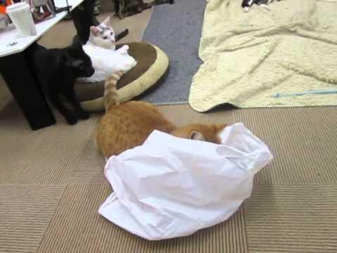 【猫・おもしろ映像】ビニール袋大好きなまるお店長♪