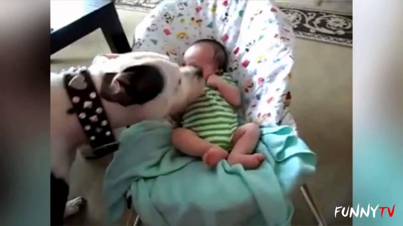 「かわいいピットブル犬愛赤ちゃんのコンパイル   おかしいテレビ