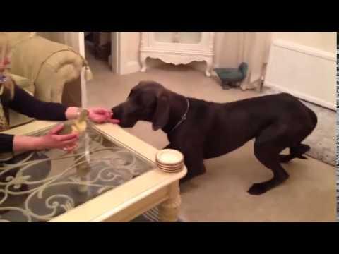グレートデーン犬が赤ちゃんのガチョウを満たしています。とてもかわいい