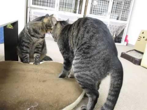 【猫・おもしろ映像】ダブルフミフミと怪しい腰つき♡