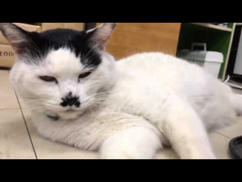 【おもしろ猫動画】甘えん坊チャッピー
