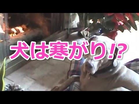 【犬かわいい動画】イヌがベッドをくわえて暖炉の前へ。海外の反応は