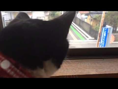 kawaii【おもしろ猫動画】カラスに文句を言うタマ