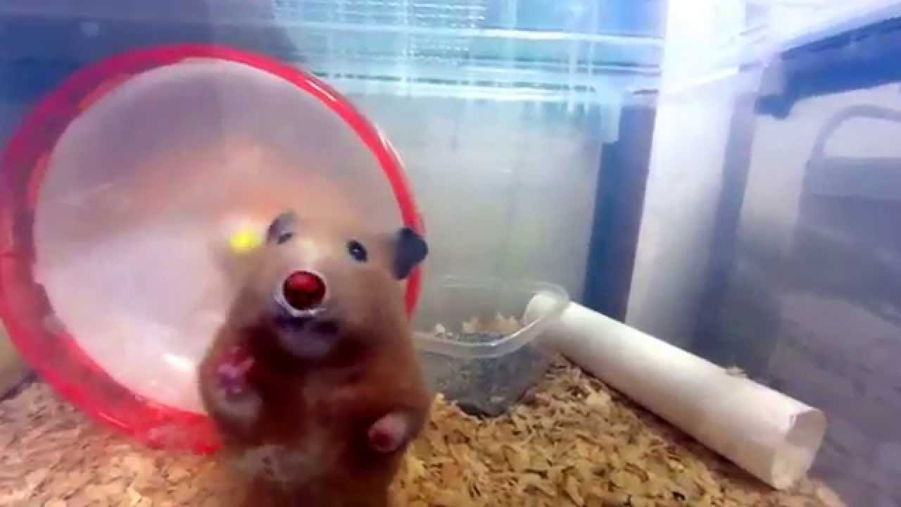 ハムスターブサ可愛い おもしろ動画This is an interesting animation.The hamster which is pretty though I am plain